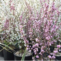 Άνθη Φυτά Γκίκας